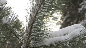 Beautiful fir tree covered with snow, close up view. Beautiful tree covered with snow, close-up view, in the frosty winter, the Christmas forest stock video