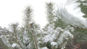 Beautiful fir tree covered with snow, close up view. Beautiful tree covered with snow, close-up view, in the frosty winter, the Christmas forest stock video footage
