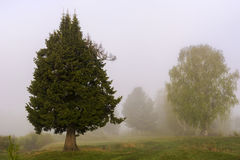 Beautiful fir tree in the fog stock photography