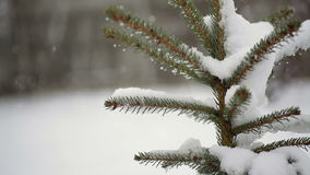 Beautiful fir-tree in snow in winter and falling snow Royalty Free Stock Photo