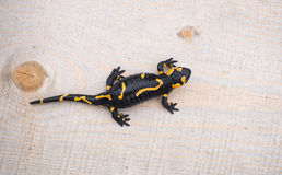 Beautiful fire salamander in the bright coloration in natural co royalty free stock photo
