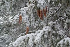 Beautiful firs with pine cones sprinkled with snow. The winter forest is decorated with white snow, beautiful firs with pine cones sprinkled with snow in the Stock Photo