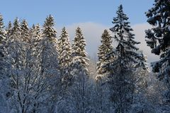 Beautiful winter forest on the background of blue sky. Beautiful firs and pines in the snow in the cold winter against the blue sky Stock Images
