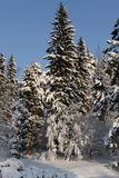 Beautiful winter forest on the background of blue sky. Beautiful firs and pines in the snow in the cold winter against the blue sky Royalty Free Stock Images