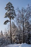 Beautiful winter forest on the background of blue sky. Beautiful firs and pines in the snow in the cold winter against the blue sky Royalty Free Stock Photo