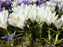 First spring flowers crocus  in park lilac and white color on green grass  Beautiful Blossom Floral nature  background. Beautiful First  blossom  spring flowers stock photos