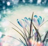 Beautiful first  crocuses on blue snow background with sunbeam bokeh, spring nature Royalty Free Stock Images