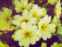 Beautiful first flowers of primrose in the garden royalty free stock photo
