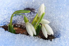Beautiful First Snowdrops Royalty Free Stock Photos