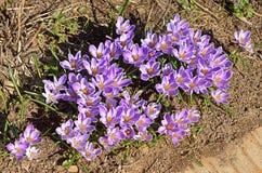 Beautiful first spring flowers. Crocus vernus.  stock image