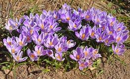 Beautiful first spring flowers. Crocus vernus Pickwick Dutch Crocus.  royalty free stock photography