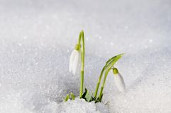 Beautiful first spring flowers snowdrops appeared from under the royalty free stock image