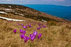 Beautiful first spring flowers. View of close-up blooming violet crocuses in the mountains. stock image
