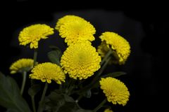 Beautiful yellow flowers on the black backgraund Royalty Free Stock Images