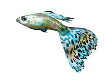 Beautiful fish. Computer image, fish 3D, isolated white background Stock Photos
