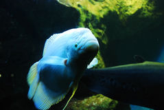 Beautiful fish Royalty Free Stock Photography
