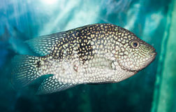 Fish in aquarium Royalty Free Stock Photo
