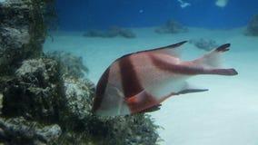 Beautiful fish in the aquarium and aquatic plants. Colorful fish. Sea world.  stock video