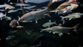 Beautiful fish in the aquarium and aquatic plants. Colorful fish. Sea world.  stock video footage