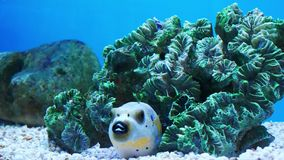 Beautiful fish in the aquarium on decoration of aquatic plants backgroun. D. A colorful fish in fish tank stock video footage