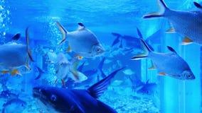 Beautiful fish in the aquarium on decoration of aquatic plants backgroun. D. A colorful fish in fish tank stock video
