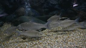 Beautiful fish in the aquarium on decoration of aquatic plants background.  stock footage