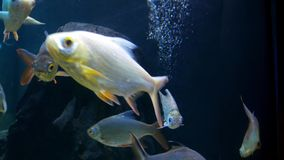 Beautiful fish in the aquarium on decoration of aquatic plants background.  stock video footage