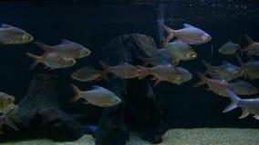 Beautiful fish in the aquarium on decoration of aquatic plants background.  stock video