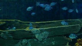 Beautiful fish in the aquarium on decoration of aquatic plants background.  stock video footage