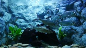 Beautiful fish in the aquarium on decoration of aquatic plants backgroun. D. A colorful fish in fish tank stock footage