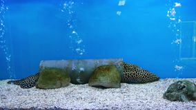 Beautiful fish in the aquarium on decoration of aquatic plants background. A colorful fish in fish tank stock footage