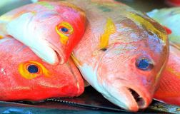 Orange Fish at 1770. A beautiful fish caught at The Town of 1770.  The colours were a beautiful orange, white on the underneath and yellow rings around the eyes Royalty Free Stock Image