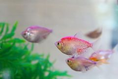 All Beautiful and Colorful Discus Fish Species in Aquarium fish, brought to us from the waters of the Amazon stock images