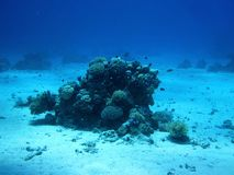 Beautiful fish and coral in Red sea, Egypt royalty free stock images