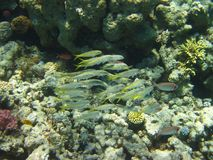 Beautiful fish in Red sea, Egypt stock image