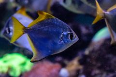 Beautiful fish Monodactylus argenteus. Close up Stock Photography