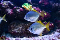 Beautiful fish Monodactylus argenteus. Close up Royalty Free Stock Photo