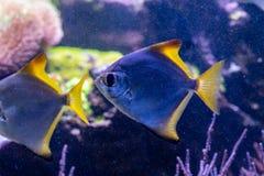 Beautiful fish Monodactylus argenteus. Close up Stock Photo