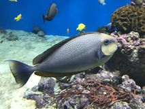 Beautiful fish in the ocean. Beautiful little blue fish in the ocean near corals, on a background of yellow fishes. Photo taken in the oceanarium Royalty Free Stock Images