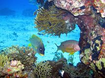Beautiful fish in Red sea, Egypt stock images