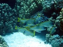 Beautiful fish in Red sea, Egypt royalty free stock photography