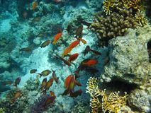 Beautiful fish in Red sea, Egypt royalty free stock images
