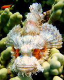 Portrait Beautiful fish of Red sea Skorpenops Royalty Free Stock Photos