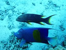 Beautiful fish in Red sea, Egypt stock photos