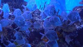 Beautiful fish slowly swimming in the aquarium. Background in 4K. Many fish Selene vomer stock video