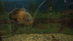 Beautiful fish swim in an aquarium stock video footage
