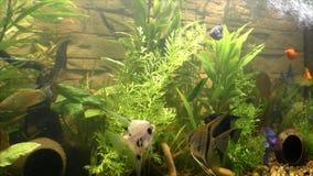 Beautiful fish swim in  aquarium stock video footage