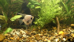 Beautiful fish swim in  aquarium stock footage