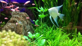 Beautiful fish swimming on aquarium. For relax background stock video footage