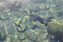 Beautiful fish under the water. In clear water, floating marine fish Royalty Free Stock Photography